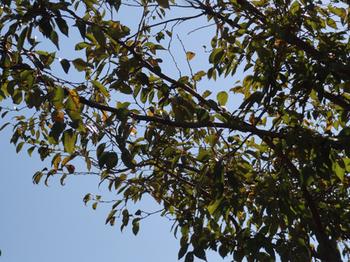 大坊本行寺の御会式桜の葉
